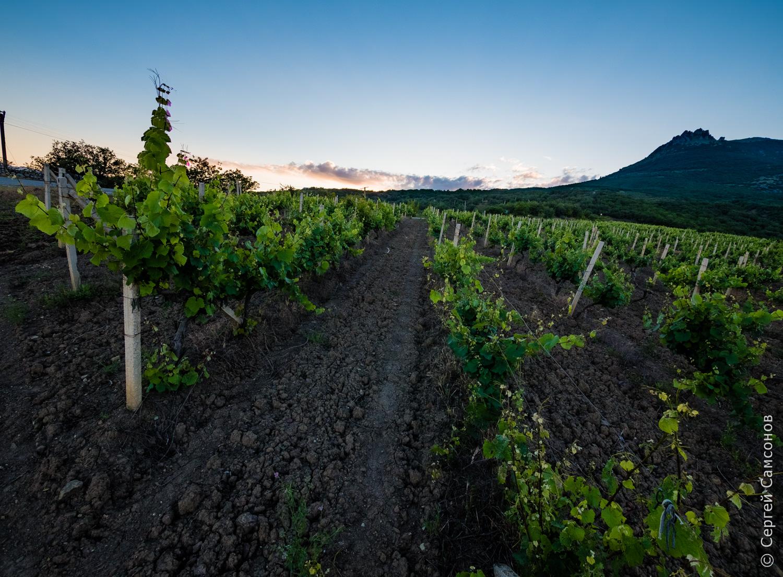 Виноградник на закате